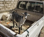 INSIGHT TV Commissions Provocative New Series Travel with a Goat